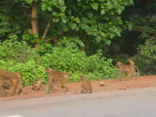 Monos en el Parque nacional de Niokolo Koba