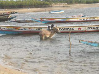 La ducha diaria del asno en el Sini Saloum