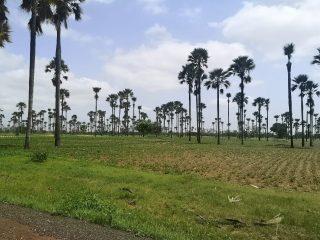 Palmeras en la verde Casamance
