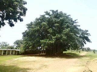 Baobab sagrado de Fadial